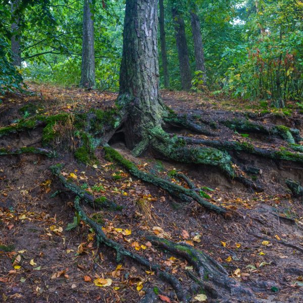 Beautiful autumnal forest landscape with close up of trees roots. Foggy morning in september in forest.