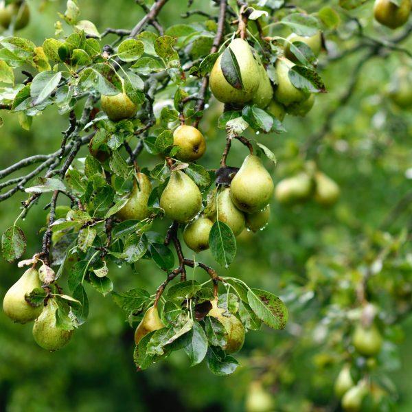 elena-kloppenburg-Pear Harvest Branches
